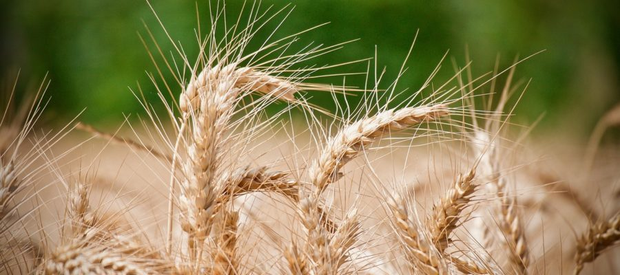 Wheat Ears Of Wheat Agriculture
