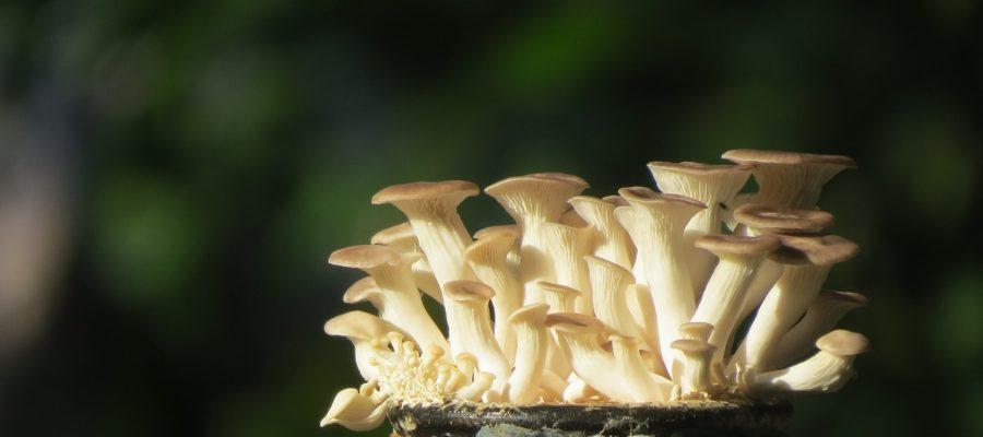 Oyster Mushroom Bottle - thanhlocpham / Pixabay
